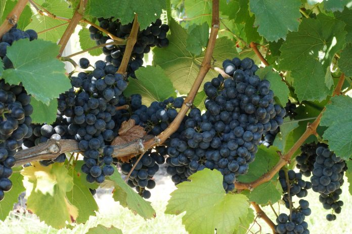 great grapes state