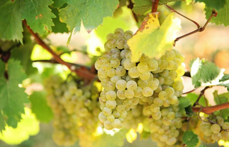 st.-julian-grapes