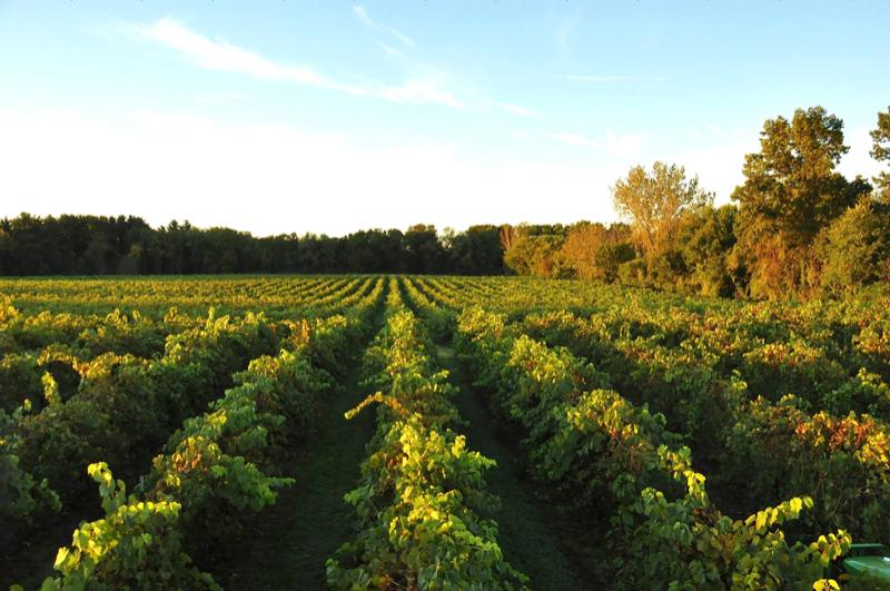 vineyard-sw